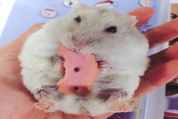 仓鼠的常见病及处理方法